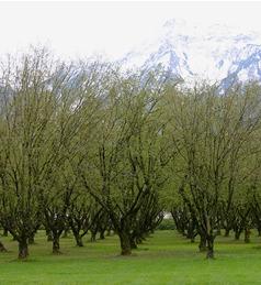 hazelnut-orchard