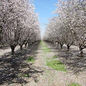 almond-bloom-sq