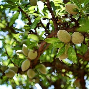 Almonds-Resized-sq