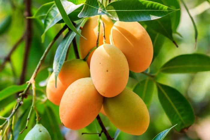 mango on tree